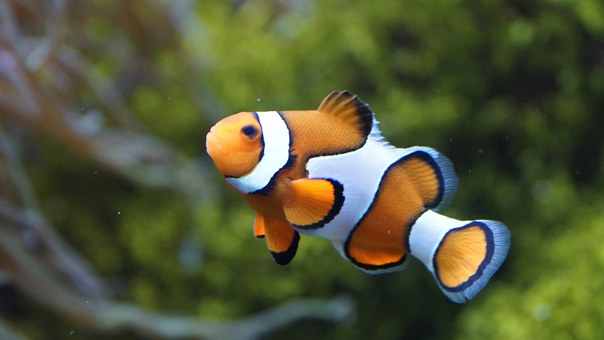 Circus In The Water: A Few Facts About Your Clownfish