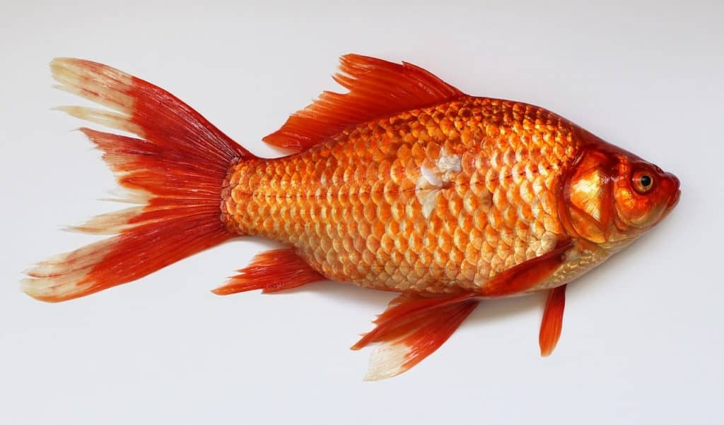 Some Important Information About Cichlid Fish