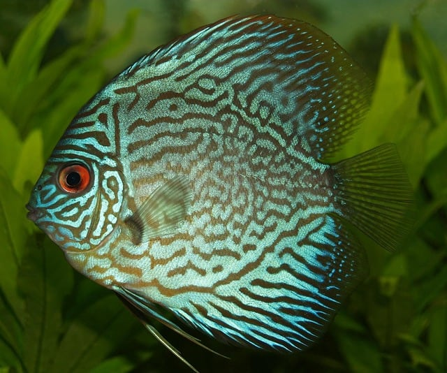 Discus Fish: Are They Aggressive?