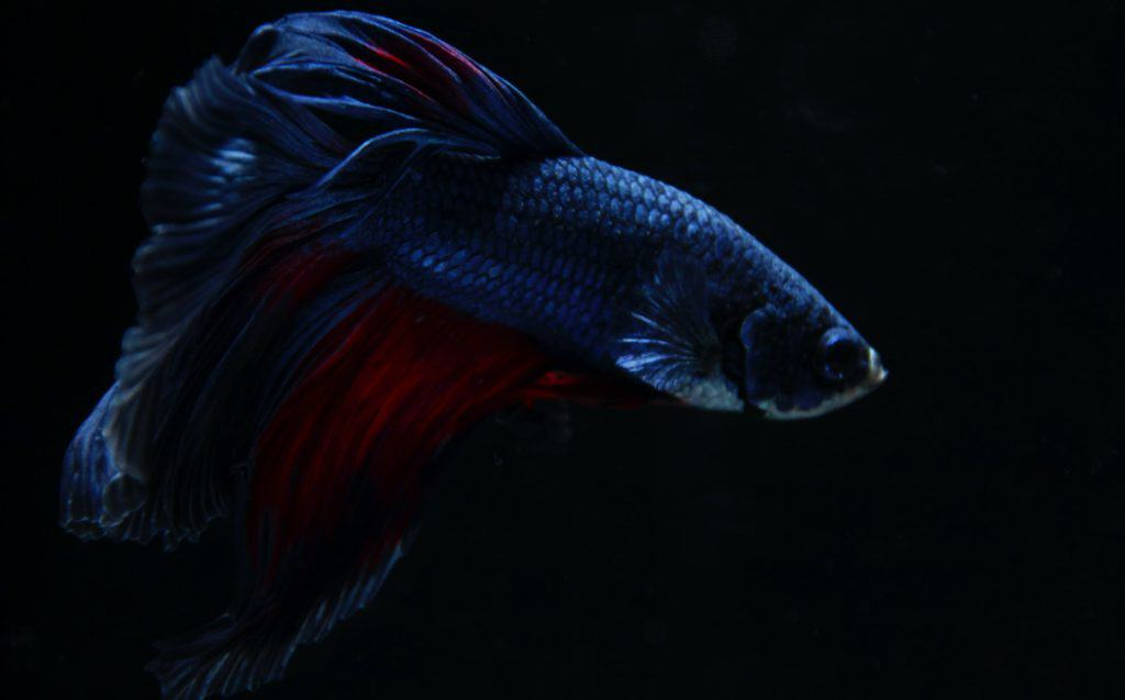 Betta Fish Tank Mates And How TO Choose The Correct Ones