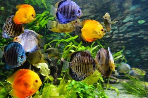 Freshwater Aquarium Fishes
